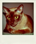 burmese-cat-corrine-pola