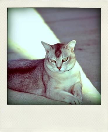 CATS-PICTURES.ORG_-_3937-1024x683-tharkon-burmilla-solo-lying-miotic+pupil-grey+hair-pola