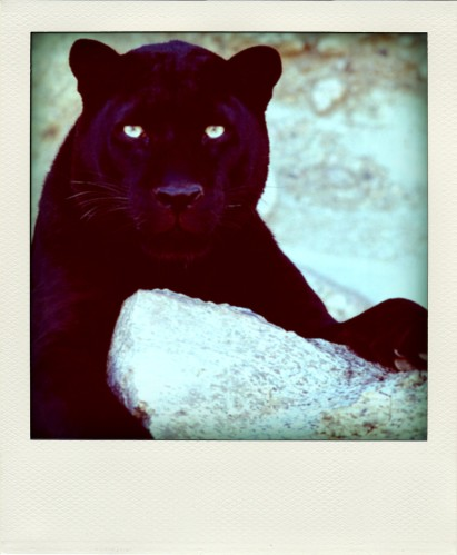 Dark Look Black Leopard-pola