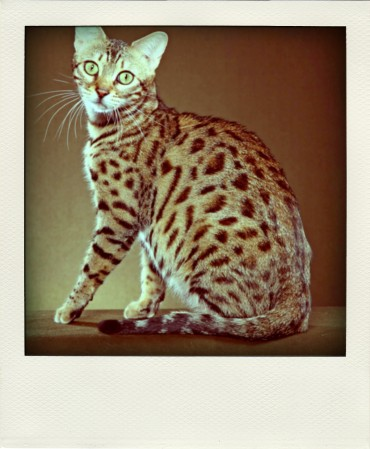 domestic-bengal-cats-10-pola