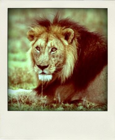 Mitt fina lejon