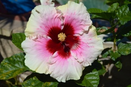 "Hibiscus ""High Voltage"""