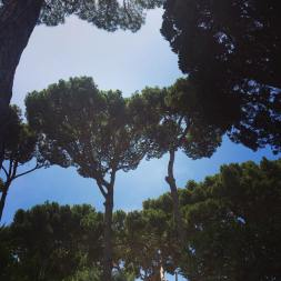"Paraply Pinje ""Umbrella Pine"" så vackra."