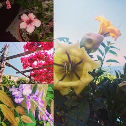 Vackra blommor överallt på Capri: Hibiscus, Bouganvillea, Blåregn och ?