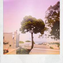 Umbrella Pine!