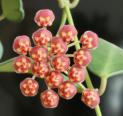 Hoya sp aff burtoniae (gräddkoladoft)