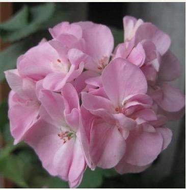 Pelargonium 'Lady Ilchester'